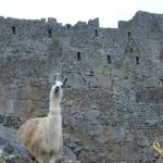 llama_wall_by_Jewel_Shepard